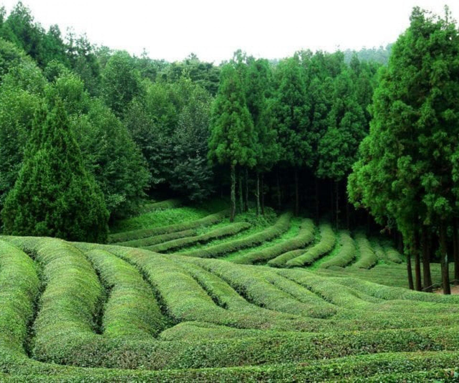 Boseong Tea Plantation | Boseong-gun, Jeollanam-do
