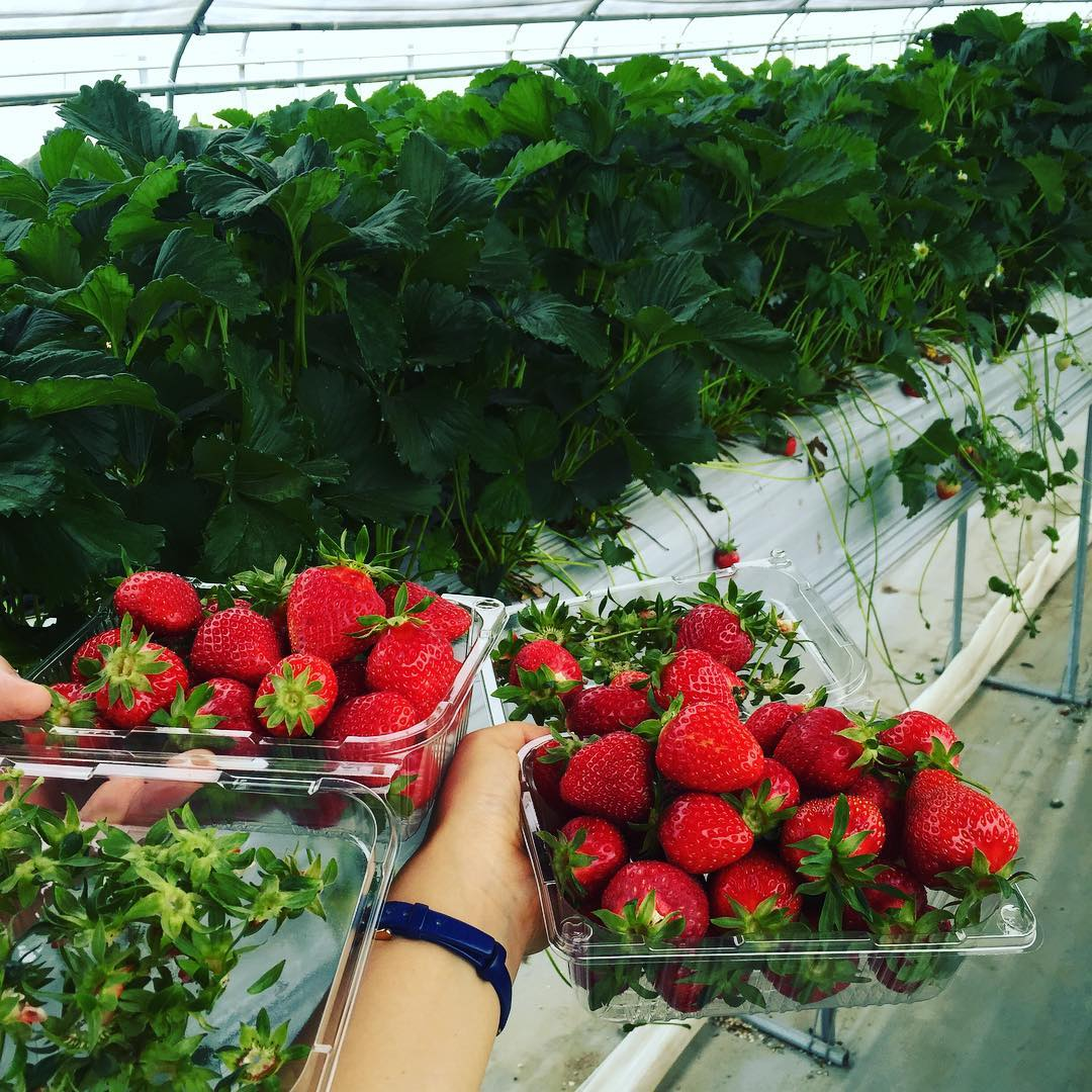yangpyeong strawberry picking festival
