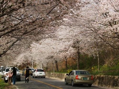 Seomjingangbank Cherry Blossom Festival