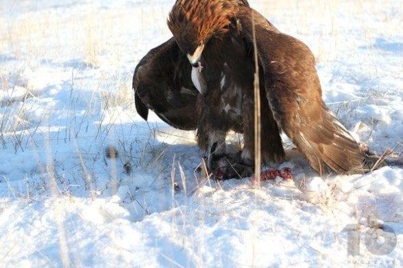 Sadak-eating-rabbit-Kazakhstan-Dec-19-2014
