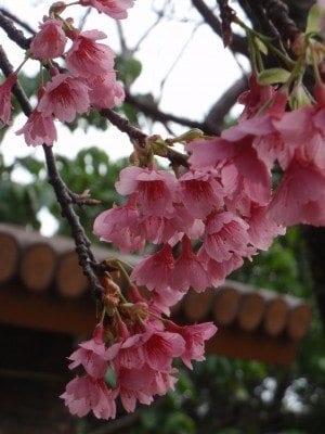 Okinawa's cherry blossoms bloom very early in the year