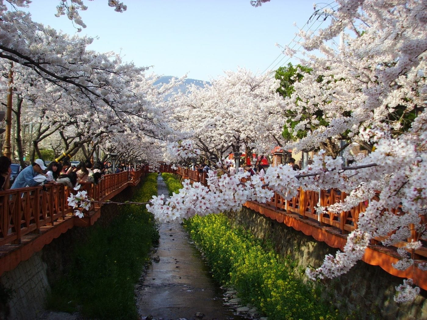 Cherry Blossom Festivals Korea 2018