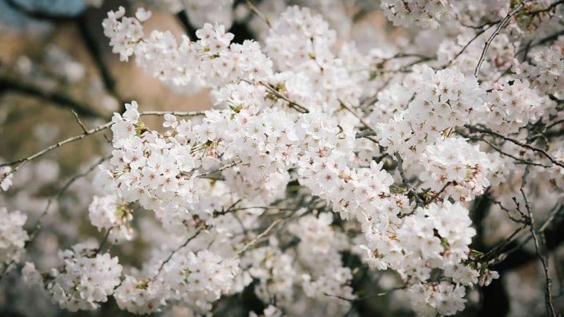 cherry blossom origins korea