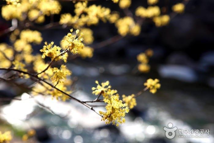 Gurye Sansuyou Blossom Festival