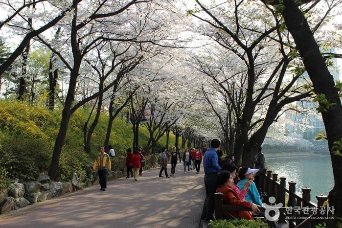 Seokchonhosu Lake Cherry Blossom