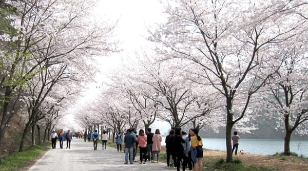Gaeam-dong Cherry Blossom Festival