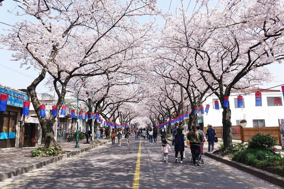 jeju cherry blossom festival