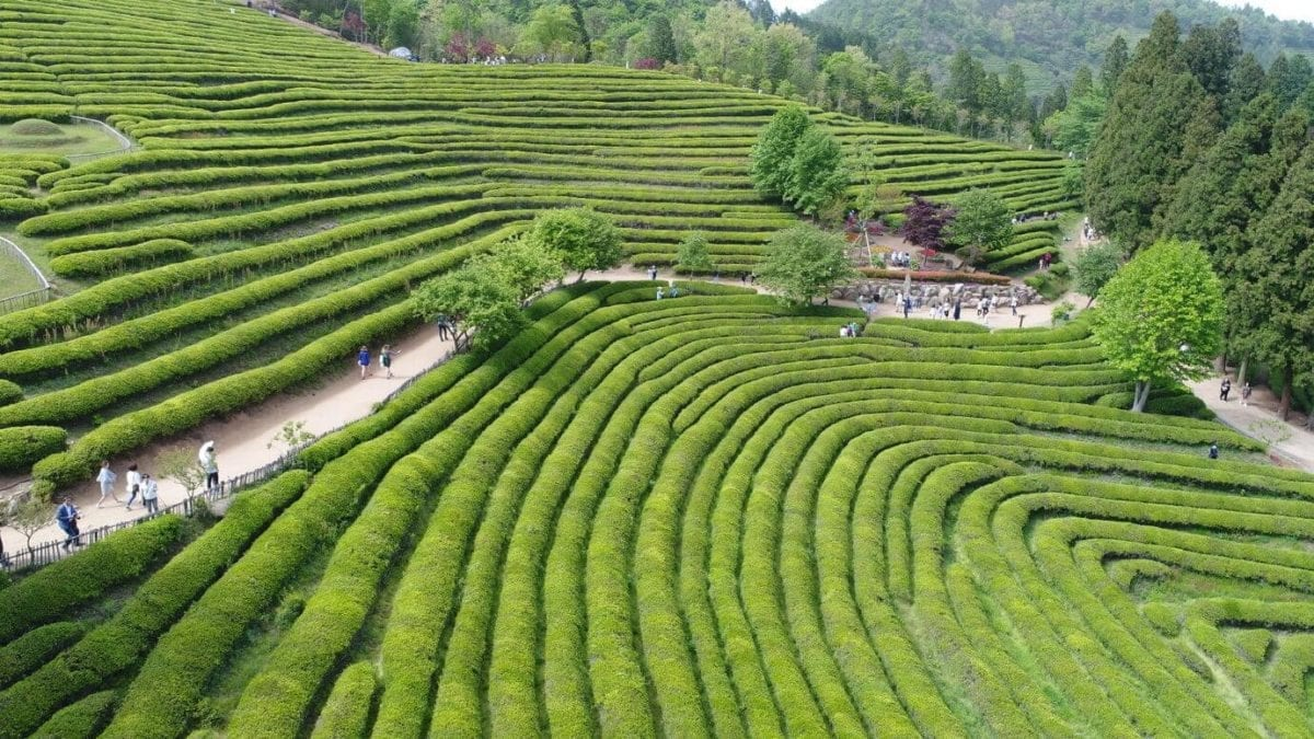 things to do in may korea  boseong green tea festival 2019