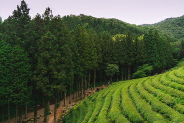 Boseong Daehan Daewon tea fields