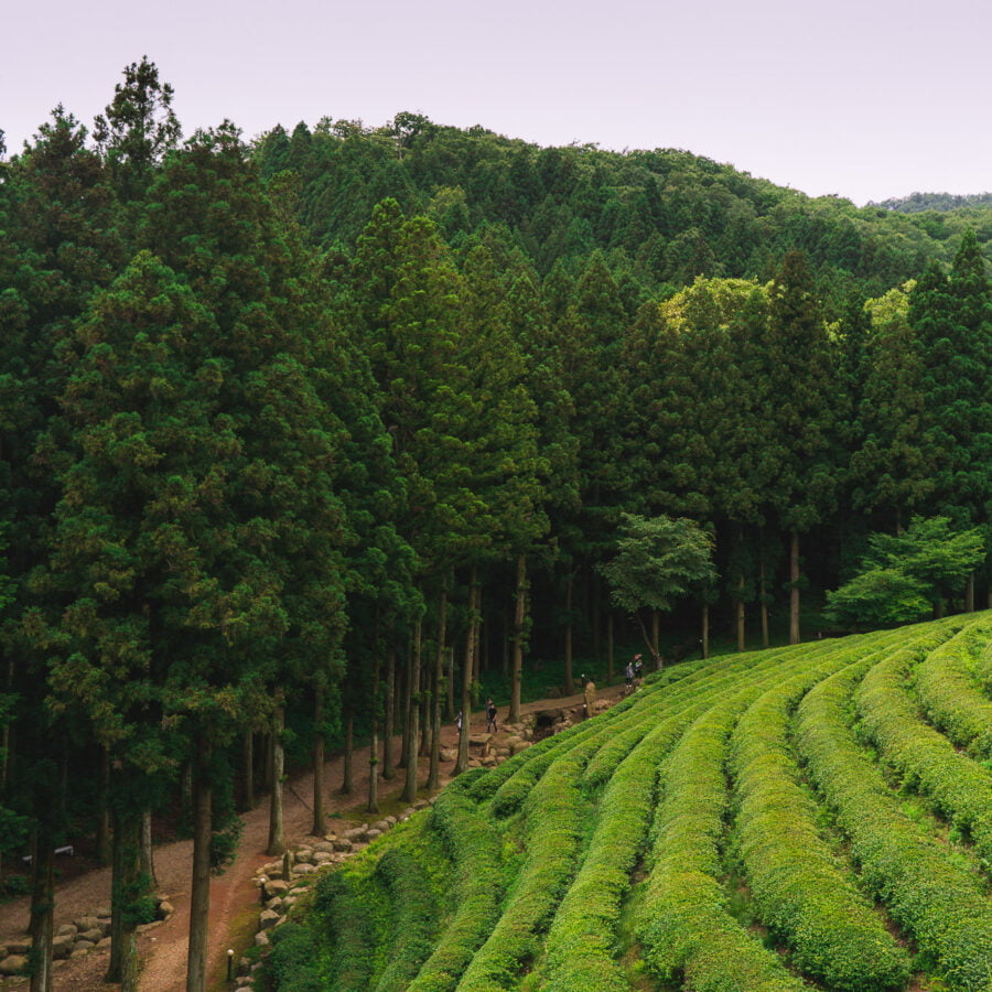 Boseong Daehan Daewon tea fields